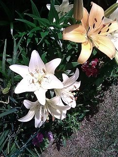 Asiatic lilies- close  up.