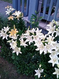 Asiatic Lilies  Front side garden